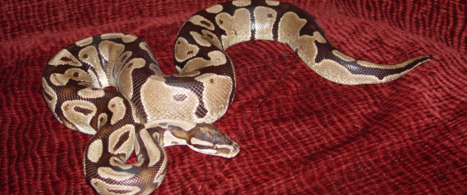 African Royal Ball Python Care